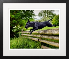Portrait-of-leaping-labrador