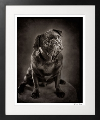 Studio-dog-portrait-of-black-pug