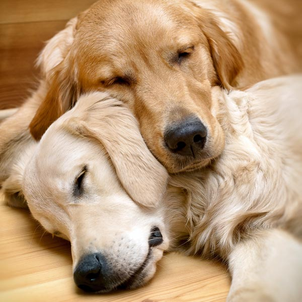 Sleeping golden retrievers