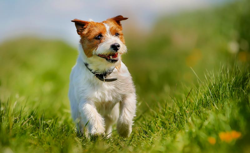 Terrier running in field.