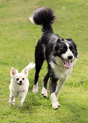 Border Collie and Pug