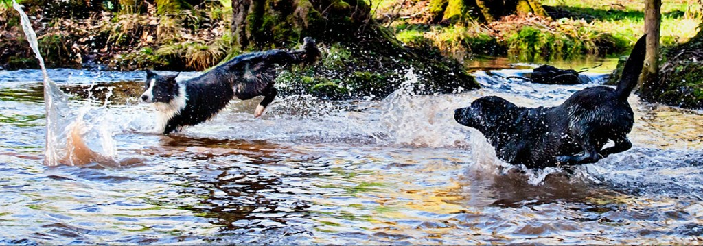 dogs racing for ball in stream